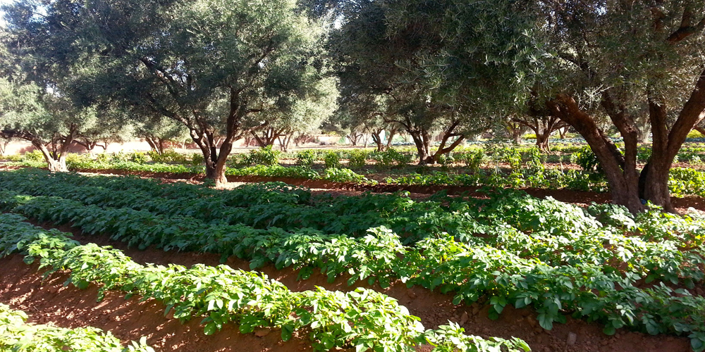 Vegetables planted between our 4 hectares of 100 year old olive trees
